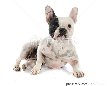 french bulldog 48965088