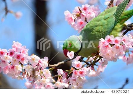잉꼬와 大寒 벚꽃 (安行 벚꽃) (N) 48979024