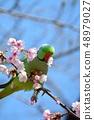 잉꼬와 大寒 벚꽃 (安行 벚꽃) (N) 48979027