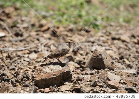 Rufous-tailed lark, Saswad, Pune Maharashtra India 48985739