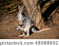 Red kangaroo, Megaleia rufa 48988602
