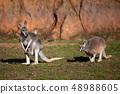 Red kangaroo, Megaleia rufa 48988605