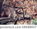 portrait of North American raccoon 48988607
