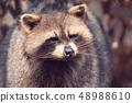 portrait of North American raccoon 48988610