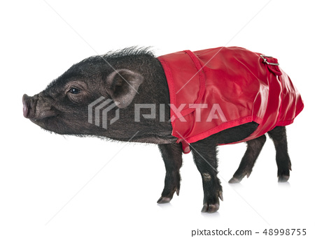 vietnamese pig in studio 48998755