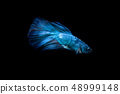 Blue fighting fish on black background 48999148
