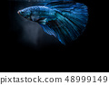 Blue fighting fish on black background 48999149