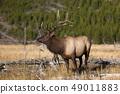 Elk in Yellowstone 49011883