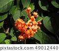 테코만테 · 덴 필라델피아 Tecomanthe dendrophylla 49012440