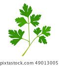 草藥的例證。新鮮的意大利歐芹。 49013005