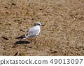 นกนางนวลโอไดบะญี่ปุ่น 49013097