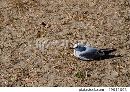 นกนางนวลโอไดบะญี่ปุ่น 49013098