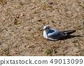 นกนางนวลโอไดบะญี่ปุ่น 49013099