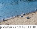 นกนางนวลโอไดบะญี่ปุ่น 49013101