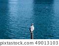 นกนางนวลโอไดบะญี่ปุ่น 49013103