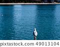 นกนางนวลโอไดบะญี่ปุ่น 49013104