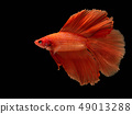 Red fighting fish, betta fish on black background 49013288