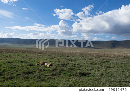 Lion's nap in Tanzania 49013476