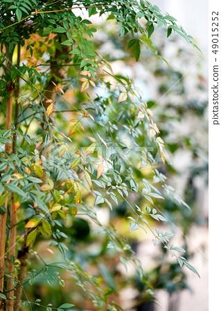 Nanten tree 49015252