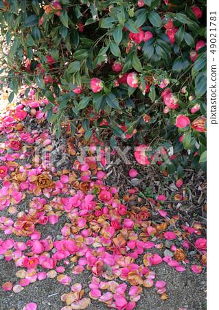 Camellia flower 49021781