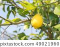 레몬 49021960