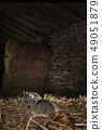 Field mouse in barn and haystack, Apodemus 49051879