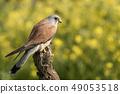Lesser kestrel, male, eating a mouse, Falco 49053518