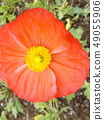 Iceland Poppy red flower 49055906