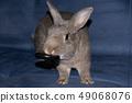 กระต่าย,สัตว์,สัตว์เลี้ยง 49068076