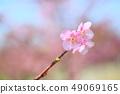 카와 벚꽃 49069165