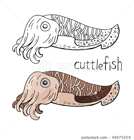 Cuttlefish black and white and color isolated on white background.  49075059