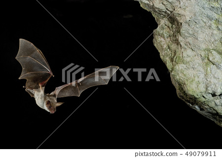 Bat buzzard, myotis myotis, flight in his cave 49079911