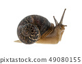 Garden snail (Helix aspersa) With white background 49080155