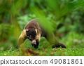 Raccoon, Procyon lotor, in Manuel Antonio 49081861