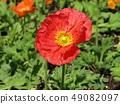 Poppy's red flower 49082097