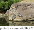 Turtle parent and child in pond of Inage beach park 49082771