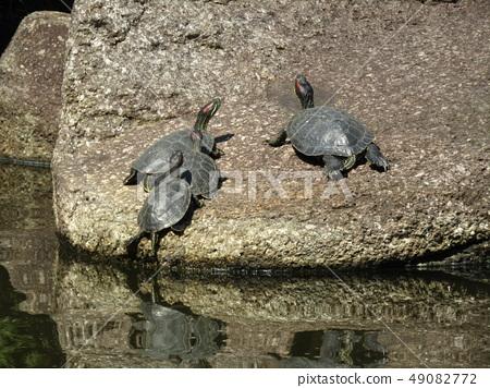 ผู้ปกครองเต่าและเด็กในบ่อน้ำของอุทยานชายหาด Inage 49082772