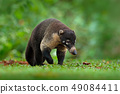 Raccoon, Procyon lotor in grass, tropical jungle 49084411