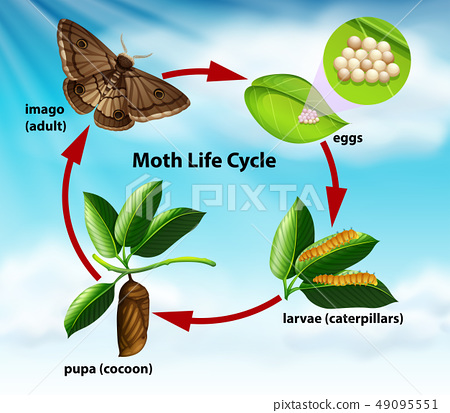 A moth life cycle 49095551