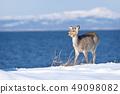Ezo deer (Hokkaido) appeared on the coast of winter 49098082