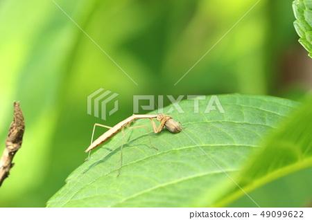 수국의 잎을 먹고 있던 벌레를 잡은 사마귀 49099622