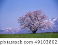 이와테 현 고 이와이 농장 하나로 벚꽃 이와테 49103802