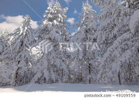 눈쌓인 나무들 49109559