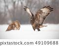 Common buzzards, buteo buteo, fighting in winter. 49109688