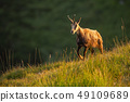 Alpine chamois, rupicapra rupicapra, in the mountains at sunset. 49109689