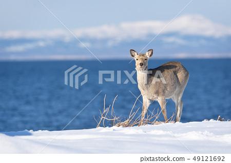 Ezo deer (Hokkaido) appeared on the coast of winter 49121692