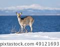 Ezo deer (Hokkaido) appeared on the coast of winter 49121693
