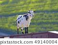 마더 목장의 봄 염소 49140004