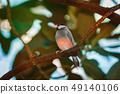 Java Sparrow (Lonchura Oryzivora) 49140106