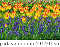 Red and Yellow Tulips 49140156